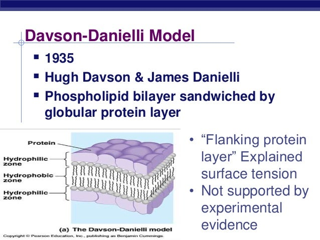 evidence for and against the davson danielli Danielli and davson did not exclude the possibility that the proteins may so far most evidence about the structure of cell membranes was indirect the resolution of light microscopy is restricted to the regime above 200 nm, which.