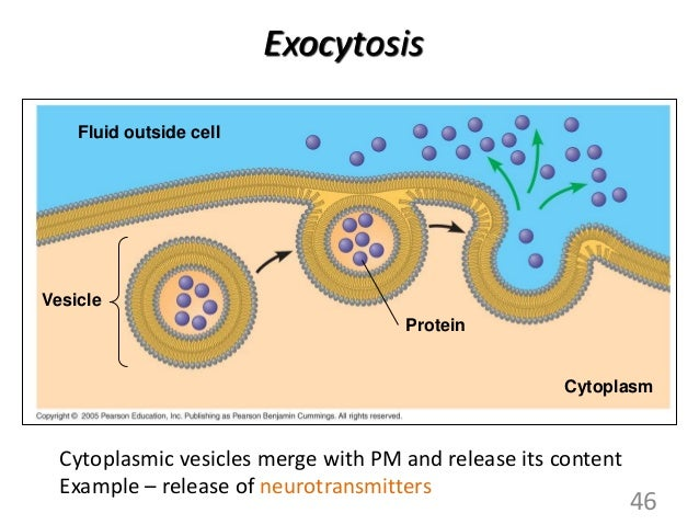 Image Gallery exocytosis example