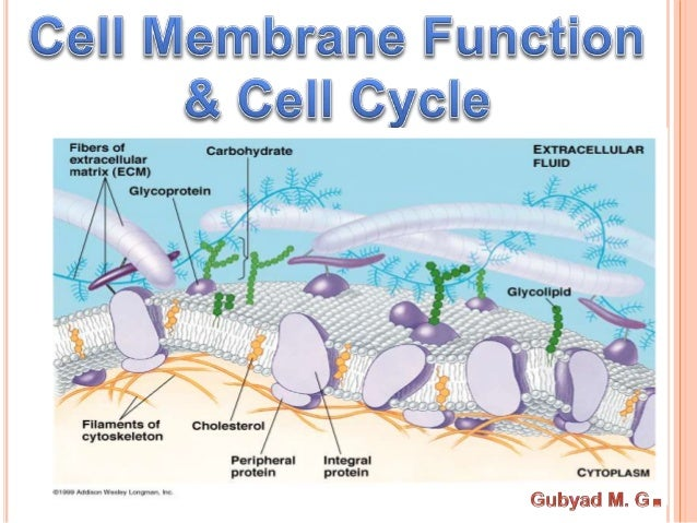 Outline •Fluid Mosaic Model •Function of Cell membrane •Membrane Proteins •Cell junction •Cell signaling •Cell Cycle