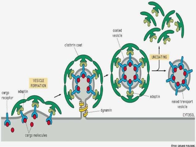 Cell membrane vesicle transportation