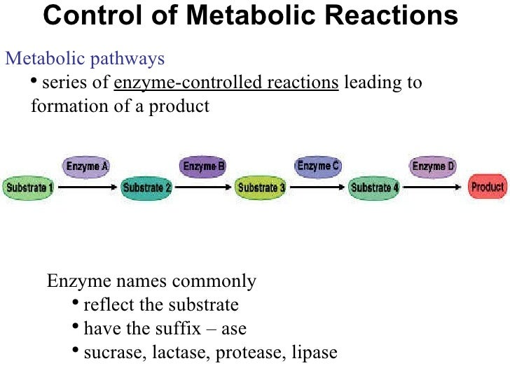 metabolism and enzyme essay
