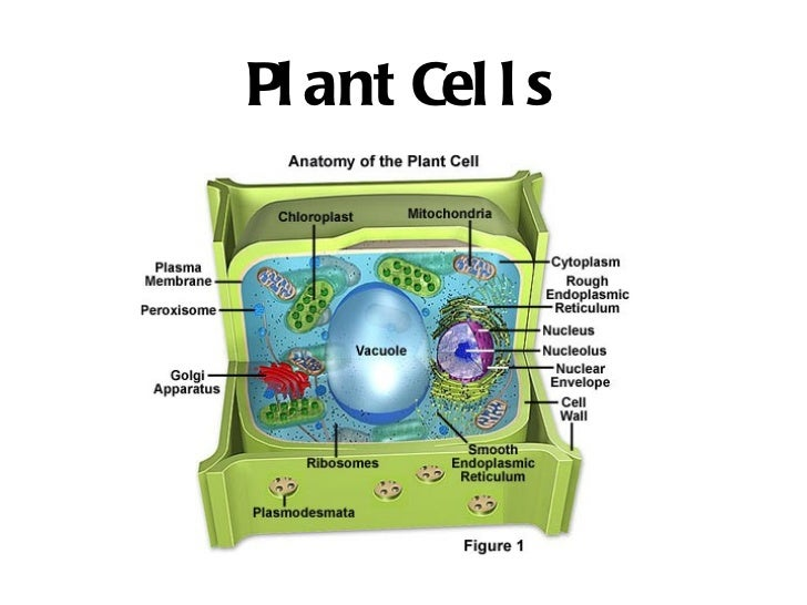 Biology 12 cell organelles plant cells 47 ccuart Images