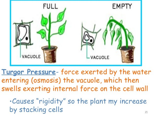 Image result for what is turgor pressure