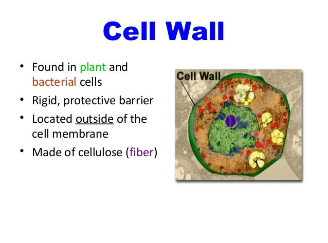 Anatomy And Physiology Cell Organelles