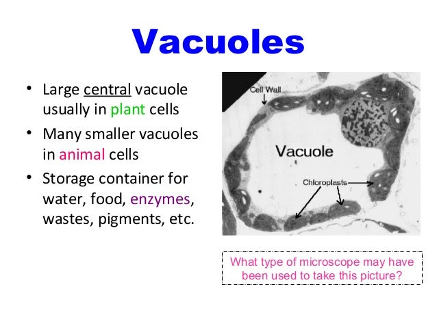 Vacuole Microscope Diagram Wiring Diagram Will Be A Thing