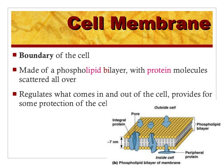 Cell organelles – Cell Organelles and Their Functions Worksheet