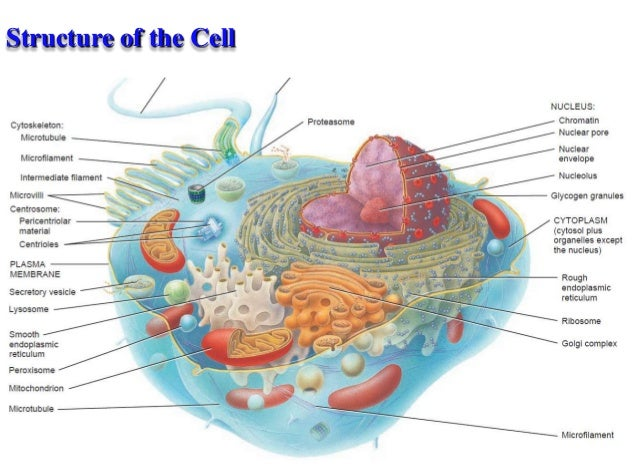 cell and cell organelles, Muscles