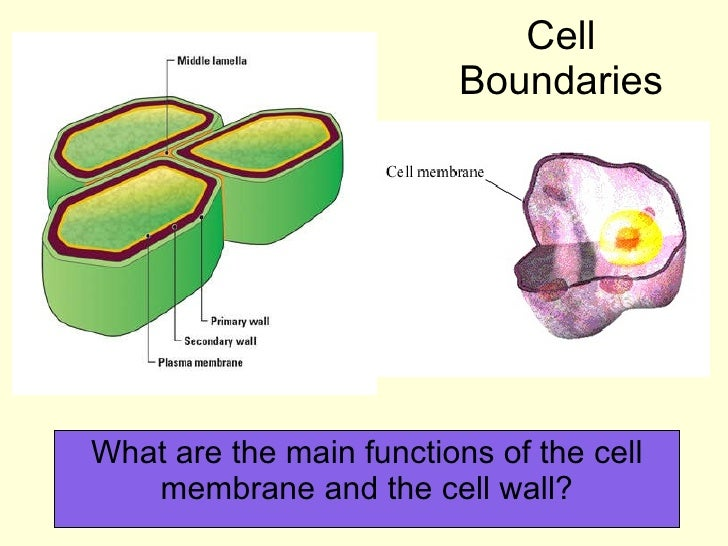 Cell Boundaries What are the main functions of the cell membrane and the cell wall?