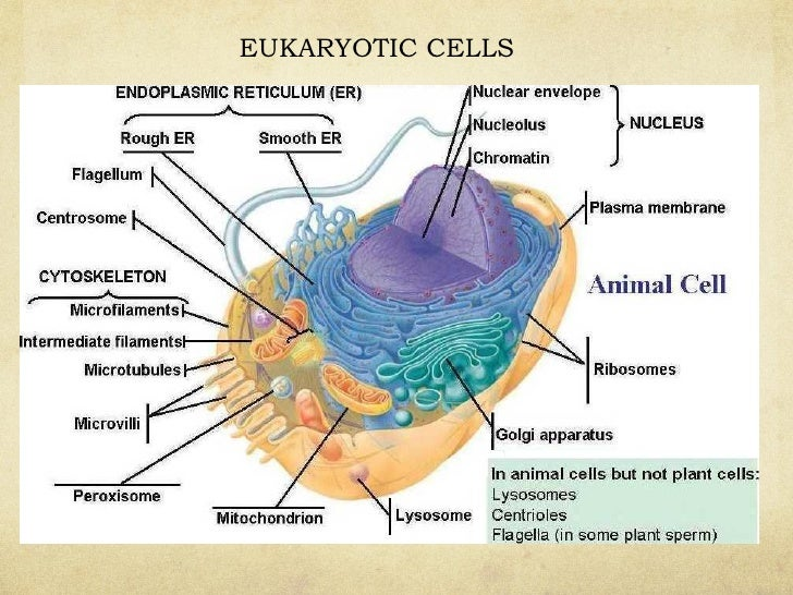 Cells ppt prokaryotic cells divide by binary fission 40 ccuart Images