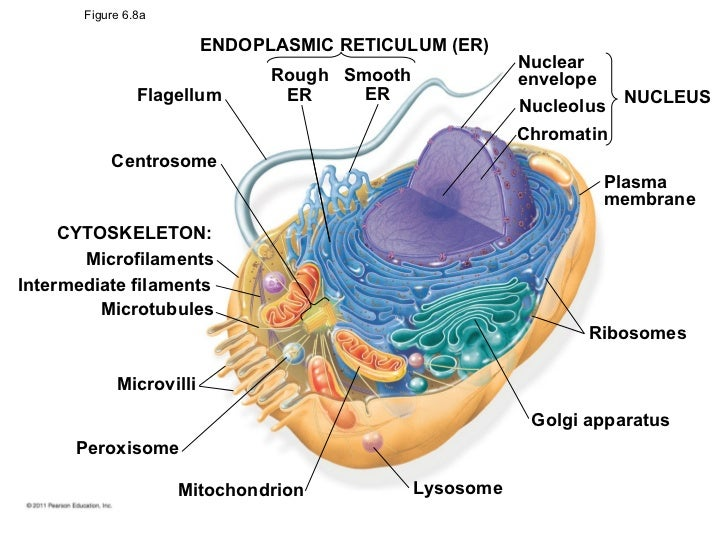 Microfilaments diagram labeled complete wiring diagrams cells rh pt slideshare net cytoskeleton diagram animal cell diagram labeled ccuart Choice Image