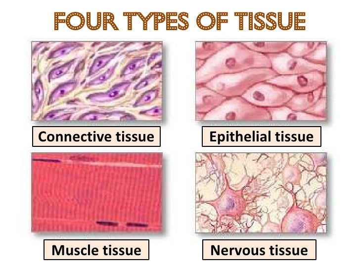 an introduction to different types of tissues in a human body All vital organs begin to lose some function as you age during adulthood aging changes occur in all of the body's cells, tissues, and organs, and these changes affect the functioning of all body systems living tissue is made up of cells there are many different types of cells, but all have the same basic.