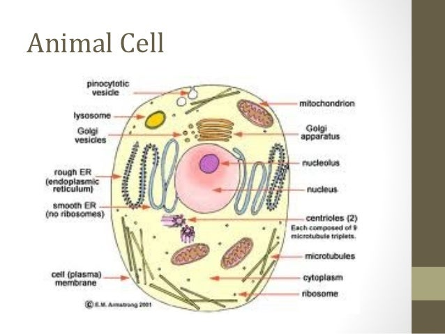 Cells olevel biology 7 animal cell ccuart Image collections