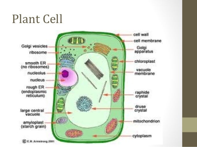 Cells olevel biology animal cell 8 plant ccuart Gallery