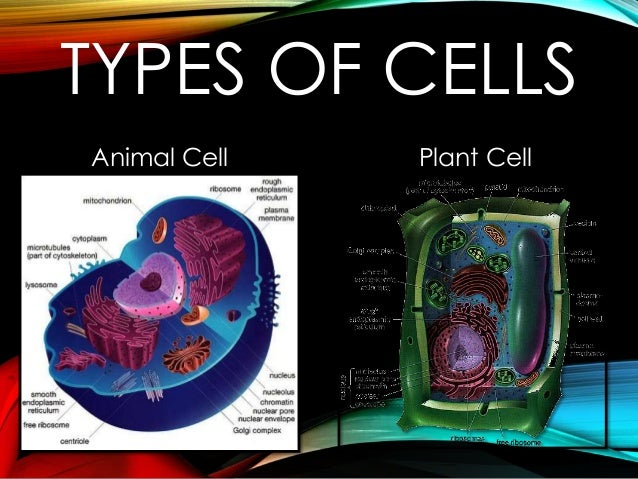 TYPES OF CELLS Animal Cell  Plant Cell