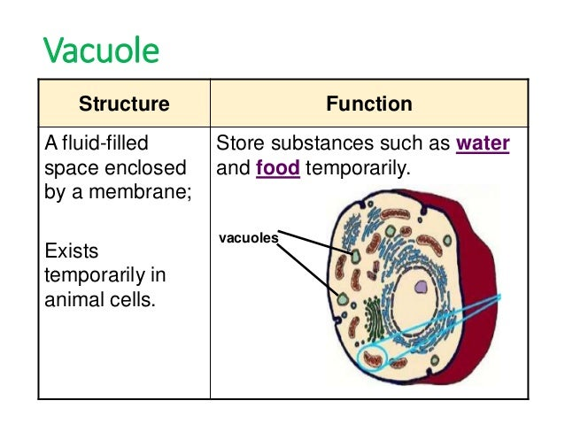 Describe the structure and function of vacules - 11477663 ...