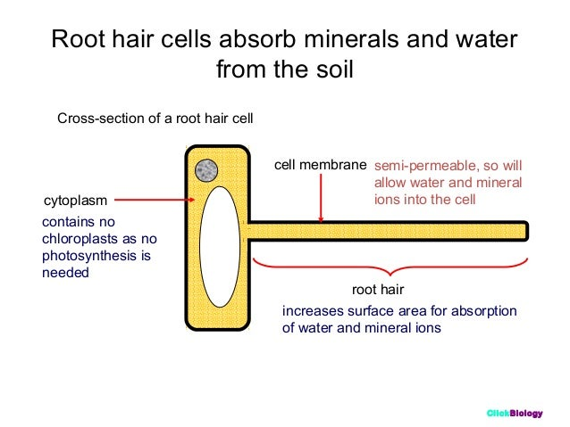 Cells1 continuous tubes 13 clickbiology root hair cells ccuart Choice Image