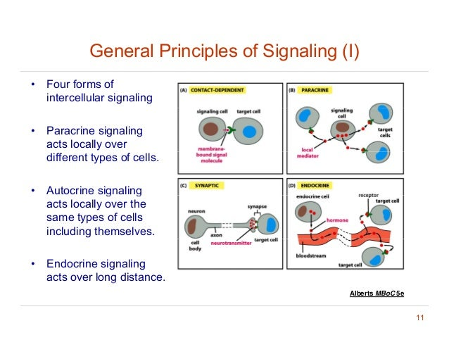 general signaling principles View test prep - chapter 161 from bio 327 at syracuse chapter 16: cell signaling 11/19/2015 general principles of cell signaling signal transduction: conversion of an impulse of stimulus from one.