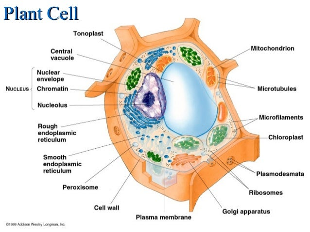 Cells structure plant cellplant cell ccuart