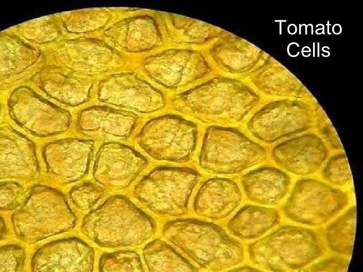 Tomato Skin Structure Bing Images