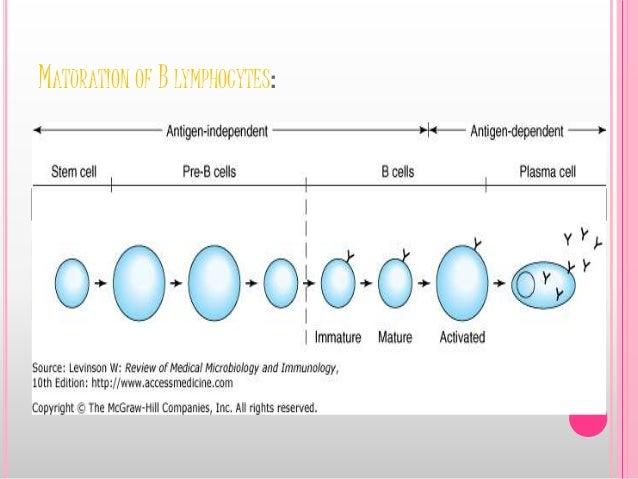 MATURATION OF B LYMPHOCYTES: