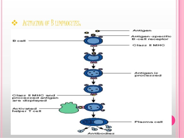  ACTIVATION OF B LYMPHOCYTES: