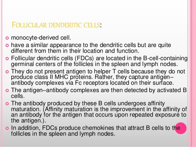 FOLLICULAR DENDERITIC CELLS:  monocyte-derived cell.  have a similar appearance to the dendritic cells but are quite dif...