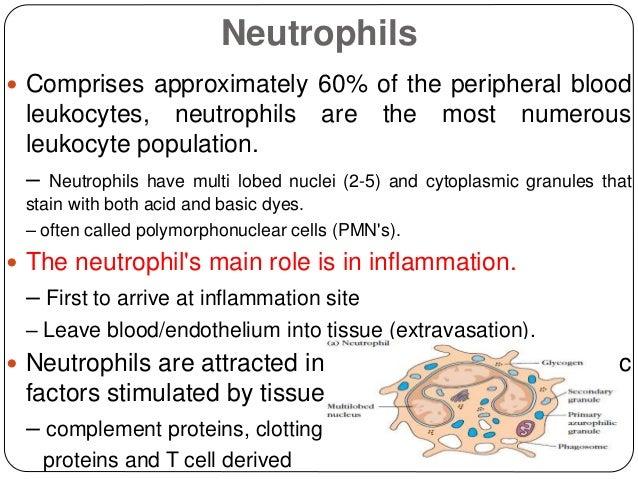 Neutrophils  Comprises approximately 60% of the peripheral blood leukocytes, neutrophils are the most numerous leukocyte ...