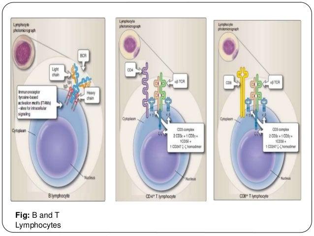 Fig: B and T Lymphocytes
