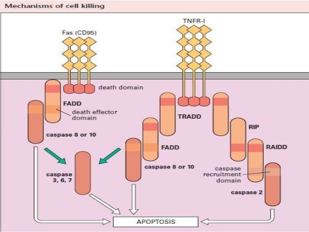 Immunopathology  Autoimmune disease - When the immune system reacts against 'self' components, for example rheumatoid art...