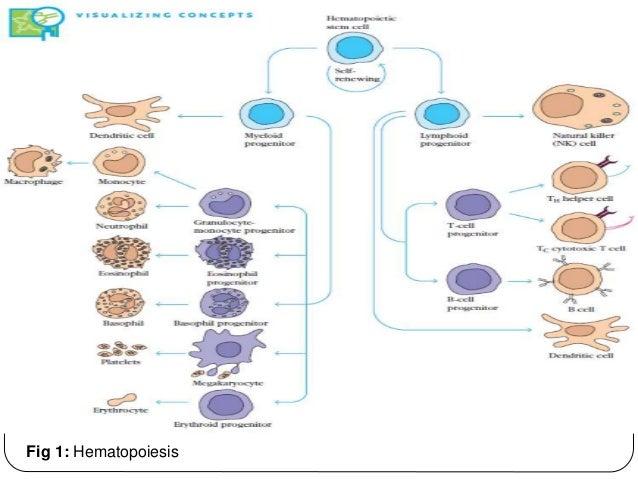 Fig 1: Hematopoiesis