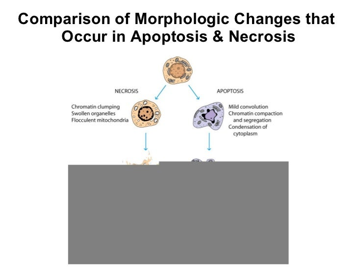 comparison of necrosis and apoptosis essay Discuss the similarities and differences between the two types of cell death,  necrosis and apoptosis both necrosis and apoptosis are the two types of cell  death.