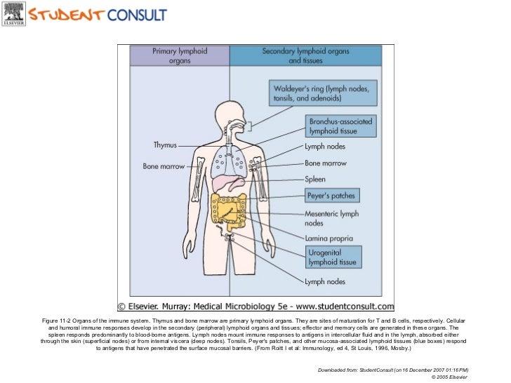 Immune System Organs Demirediffusion