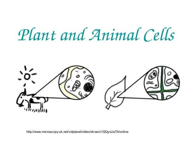 PlantandAnimalCells  http://www.microscopy-uk.net/vidplanet/video/show/o1GQyciJaTA/online