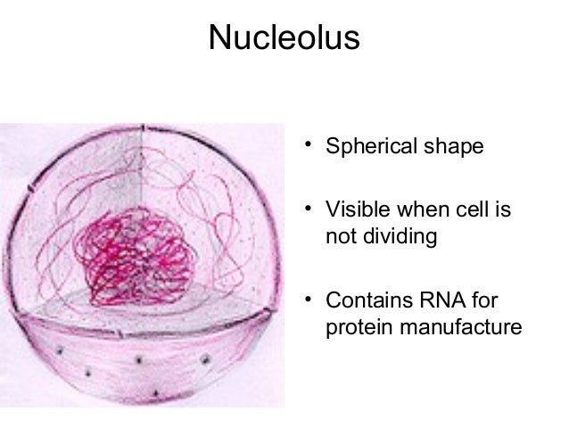 What is the purpose of the nucleolus?