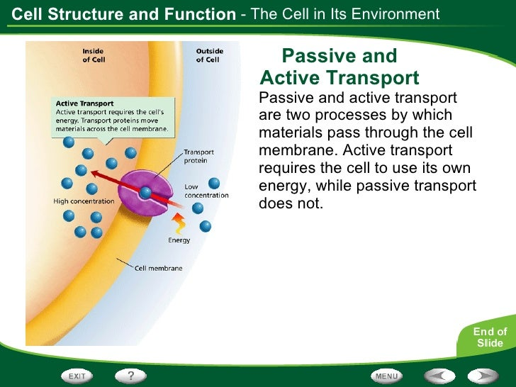 Plasma Membrane Helps maintain Homeostasis Present in all cells ...