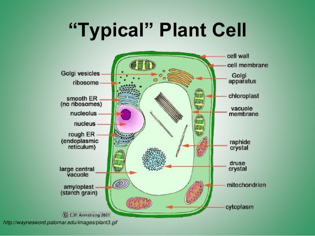 What Stores Food Water And Waste In A Plant Cell