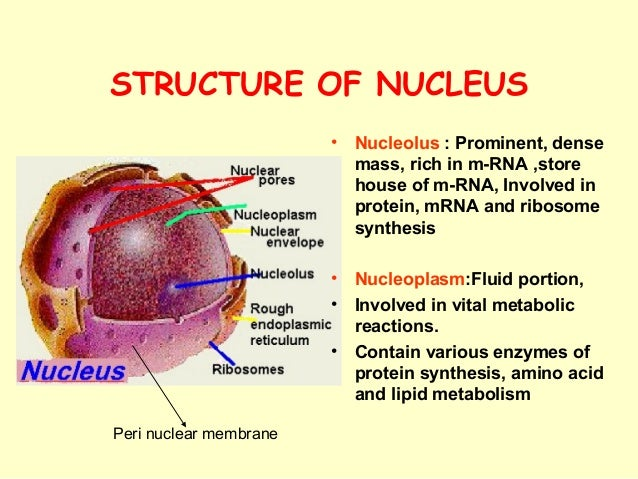Nucleoplasm function. Nucleoplasm. 2019-01-08