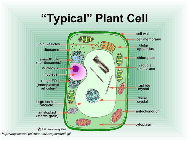 Cell structure and function 16 typical plant cell ccuart Images