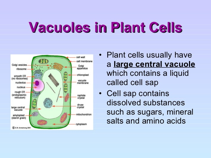 vacuoles in plant cell...