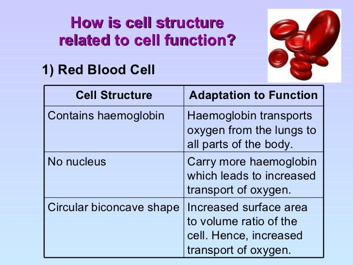 Red Blood Cell Structure