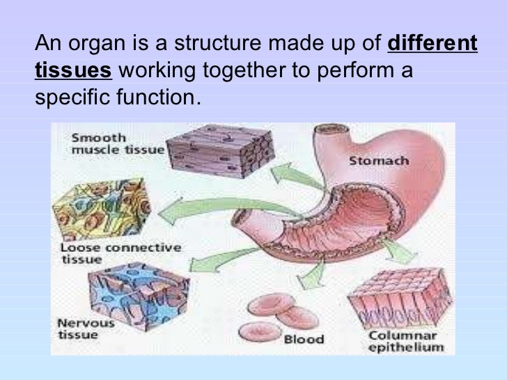 Tongue Under Diagram Diagram Of Under Tongue Anatomy Organ in addition Eye Muscle Anatomy Anatomy Of The Eye Muscles Human Anatomy Diagram furthermore The Blood Supply To The Brain Consists Of furthermore Maaleglas Med Tud 868p furthermore Cell Structure And Organisation. on brain circulatory system
