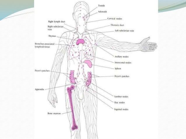 Cell Tissue Of Immune System