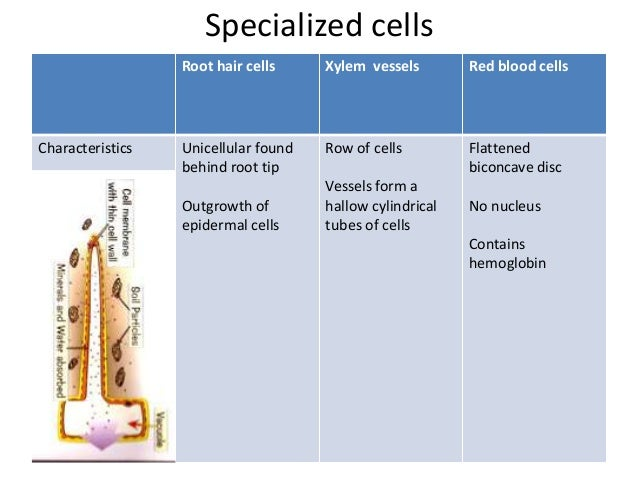 Tissues and organs root hair cells ccuart Choice Image
