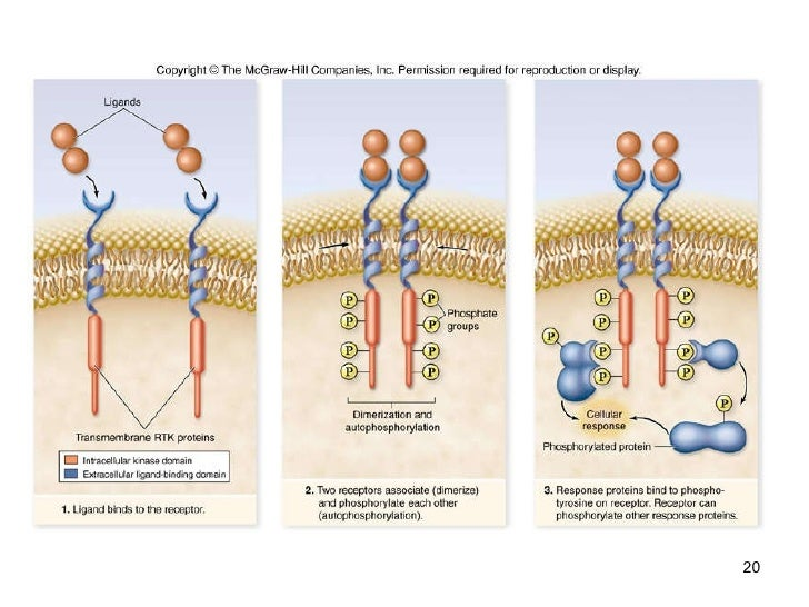 cell communication Communication between cells is also important for many unicellular organisms biologists have discovered universal mechanisms of cellular regulation involving the same small set of cell-signaling mechanisms.