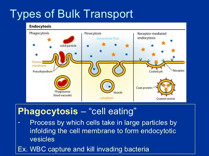 Cell Transport 1
