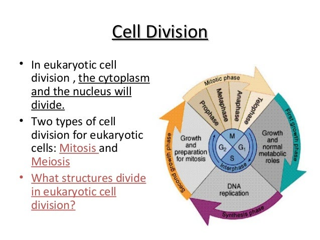 Cell Division\u2022 Mitosis ...