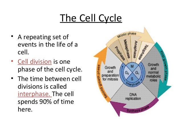 The Cell Cycle Worksheet - Davezan