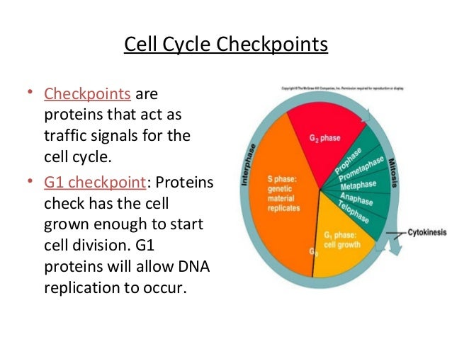 checkpoint signals Despite the recent explosion of information regarding the molecular components of cell-cycle checkpoints in eukaryotic cells, we still have only a skeletal understanding of both the identities of the dna damage sensors and the mechanisms through which they initiate and terminate the activation of checkpoints.