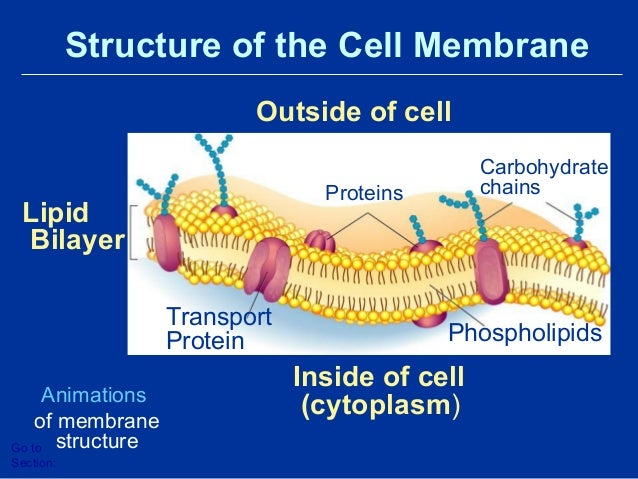 Cell Transport and The Plasma Membrane