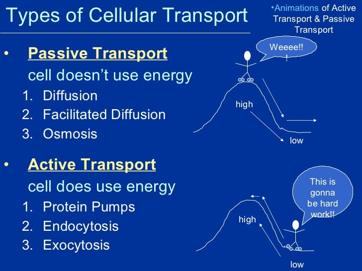 Types Of Active Transport Sasolo Annafora Co